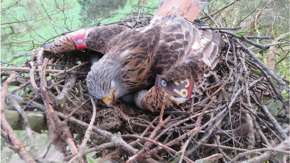 RSPB transfers eggs of poisoned red kites to donor nests