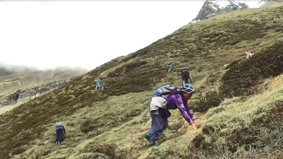 Yarsagumba hanya bisa ditemukan di ketinggian 3000-5000 meter di lereng pegunungan Himalaya.