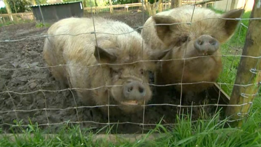 Sanctuary for rescued pigs struggles with demand