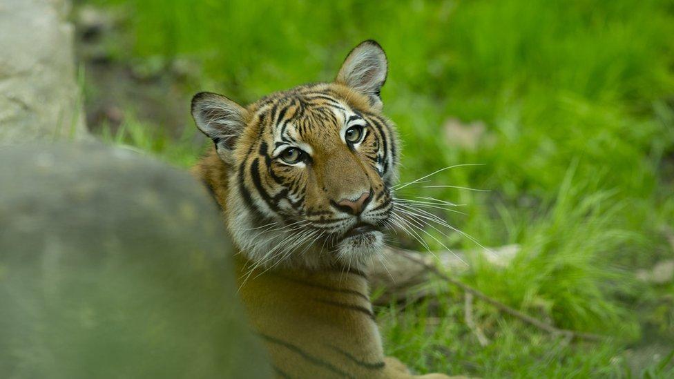 Un tigre malayo en el zoológico del Bronx el 27 de abril.