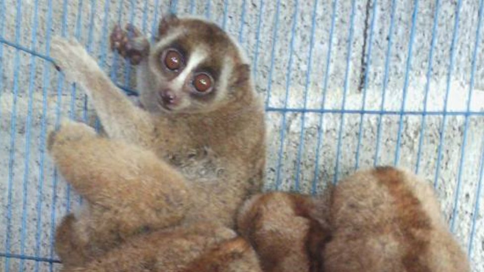 Slow lorises in a cage