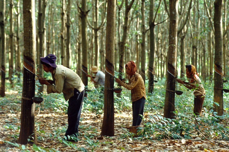 Workers collecting sap from rubber trees at the Chup rubber plantation in Cambodia