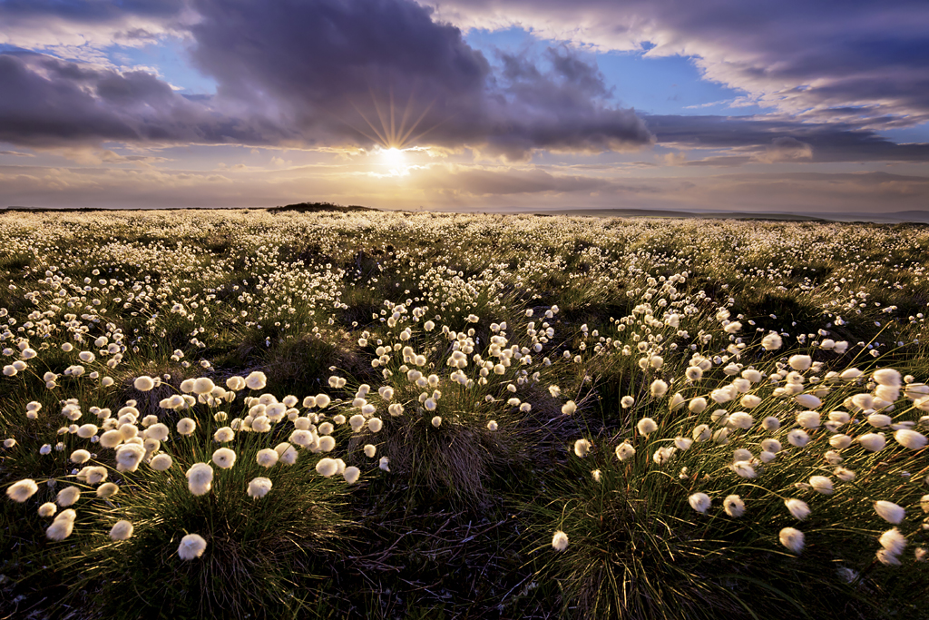 Cotton Grass by Francis Taylor