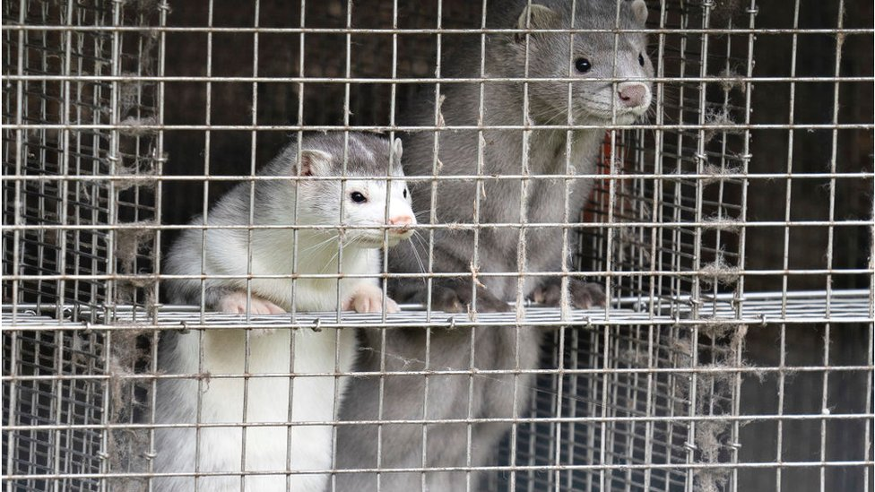 Denmark to kill millions of minks as mutated coronavirus found infecting humans