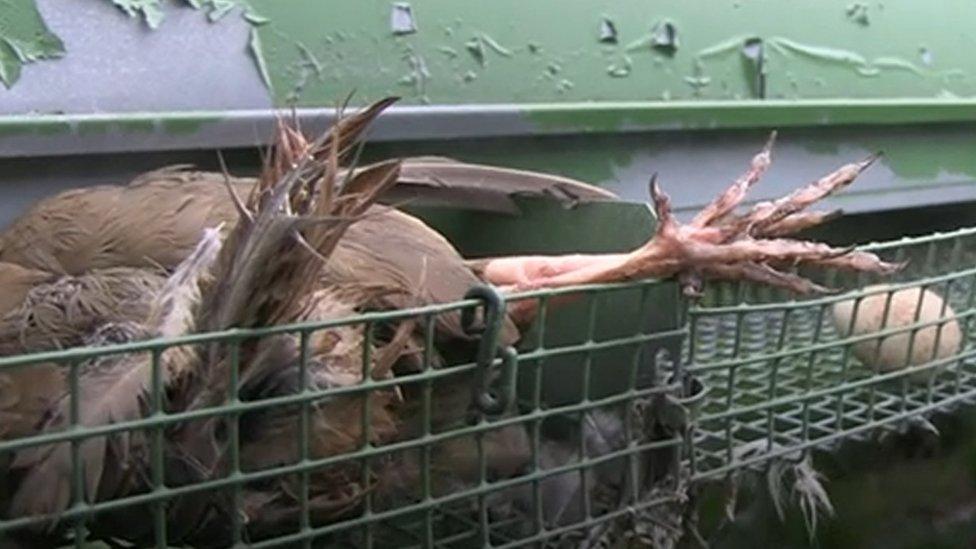 dead pheasamt