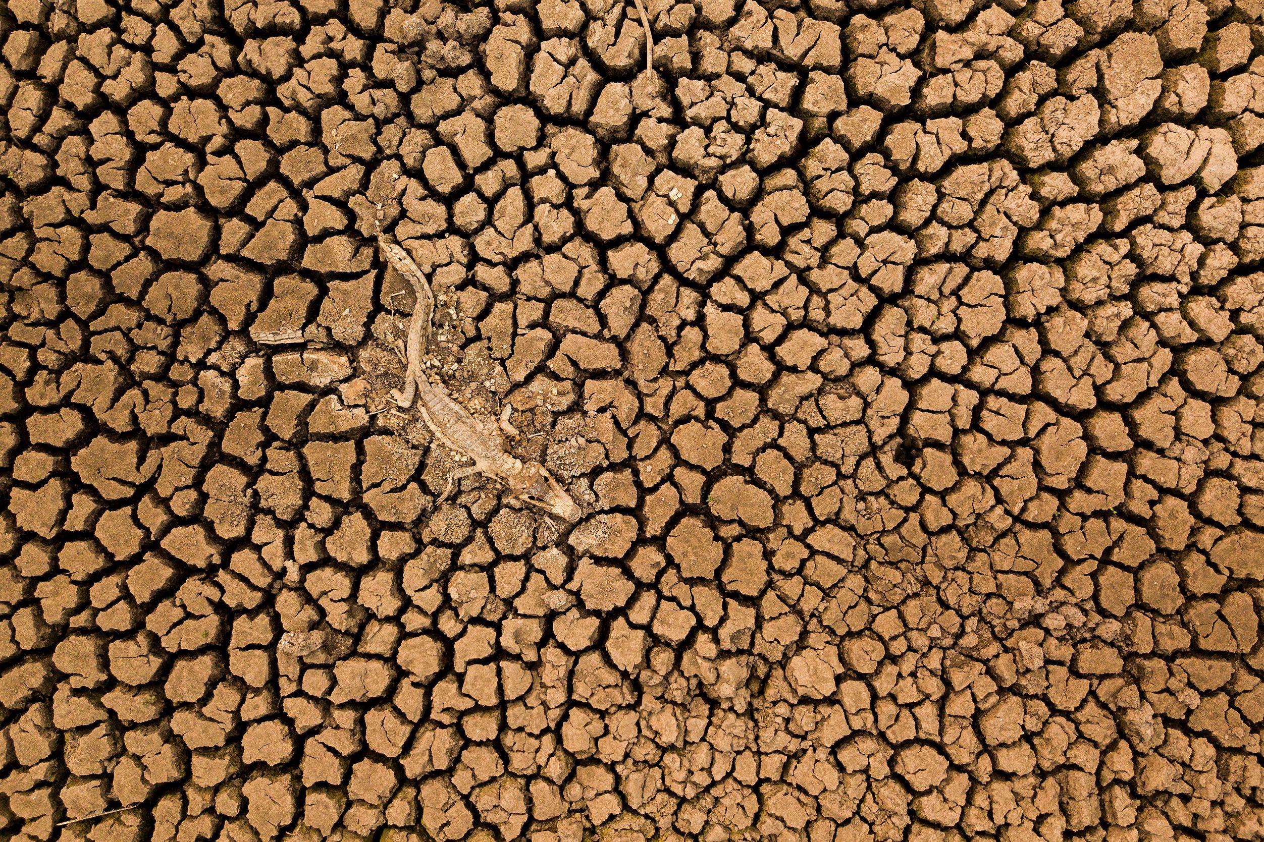 Un lagarto en descomposición en un suelo seco y agrietado.