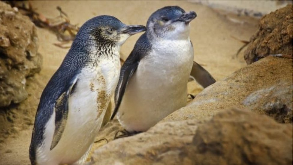 В Тасманії розслідують смертоносну атаку собак на пінгвінів