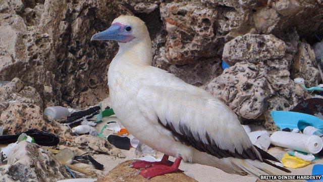 Seabird and plastic debris