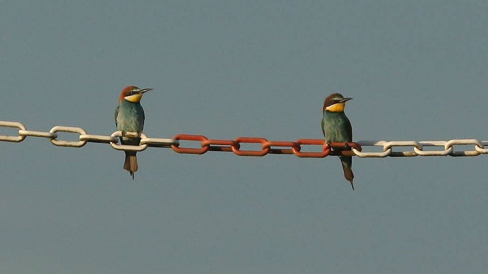 Bee-eaters at Cemex quarry