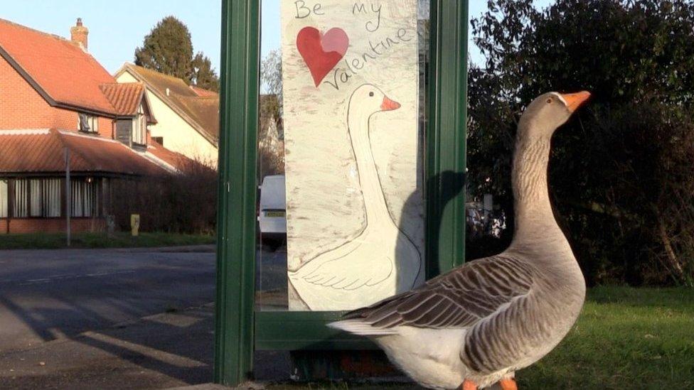 Goose gets Valentine's Day card in Suffolk village