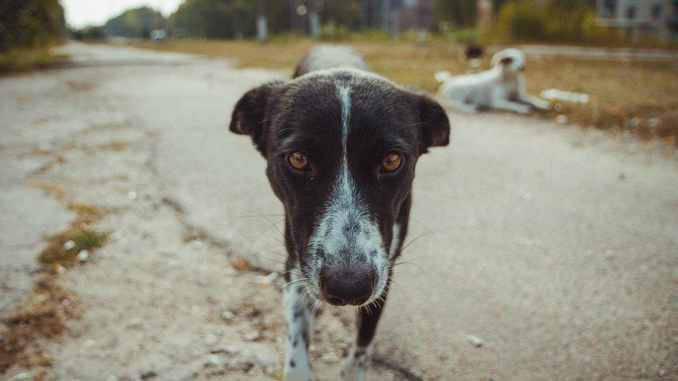 Un perro callejero en la zona radioactiva de Pripyat, la ciudad que quedó abandonada luego del desastre.