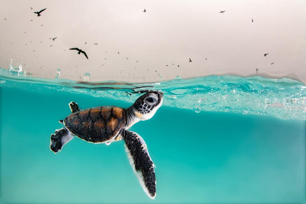 سلحفاة بحر خضراء لحظة الفقس، جزيرة هيرون، استراليا.