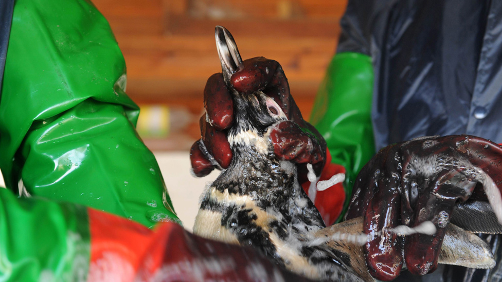 Rescate de pingüinos por parte de la ONG Fauna Marina en Uruguay debido a un vertido de petróleo en 2010