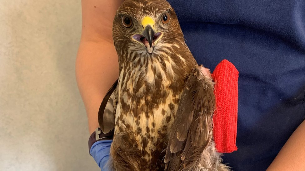 Buzzard shooting in Northamptonshire investigated by police