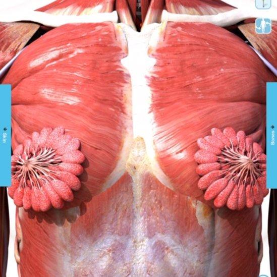 Illustration of mammary glands