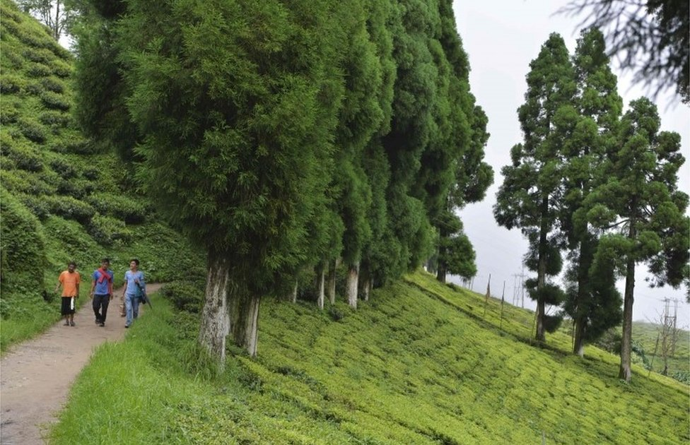 This file photo taken on July 7, 2017 shows people walking along a path at the high altitude Happy Valley Tea garden during an indefinite strike called by the Gorkha Janmukti Morcha (GJM) in Darjeeling