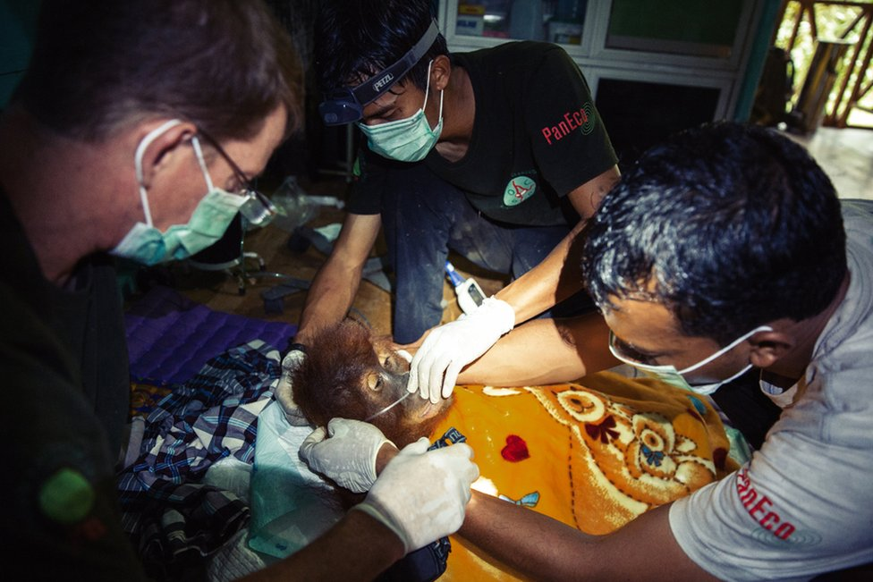 SOCP vet, Dr Pandu Wibisono, Dr Ian Singleton and his staff administer aid to a sick orangutan found in the forests by SOCP rangers.