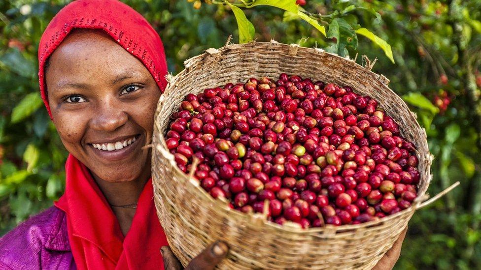 Etiyopya'da bir kadın taze çekilmiş kahve kirazlarından oluşan bir sepet gösteriyor