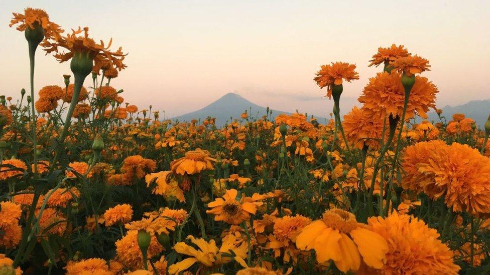 Campo con la flor de cempasúchil.