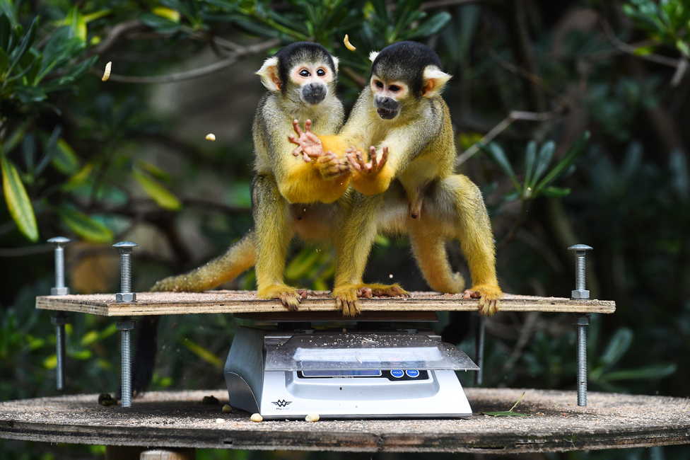 Squirrel monkeys on scales