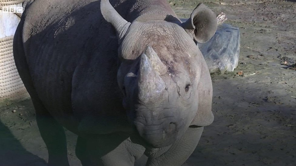 Endangered black rhino swapping North Yorkshire for Africa
