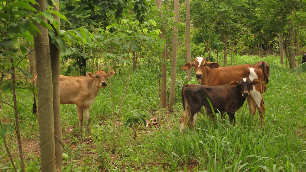 Livestock among Inga trees