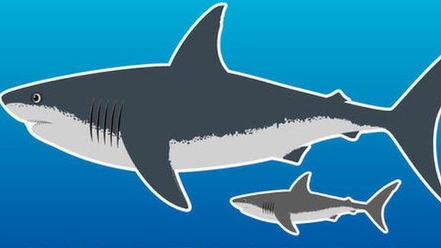 Size of a megalodon next to a great white shark