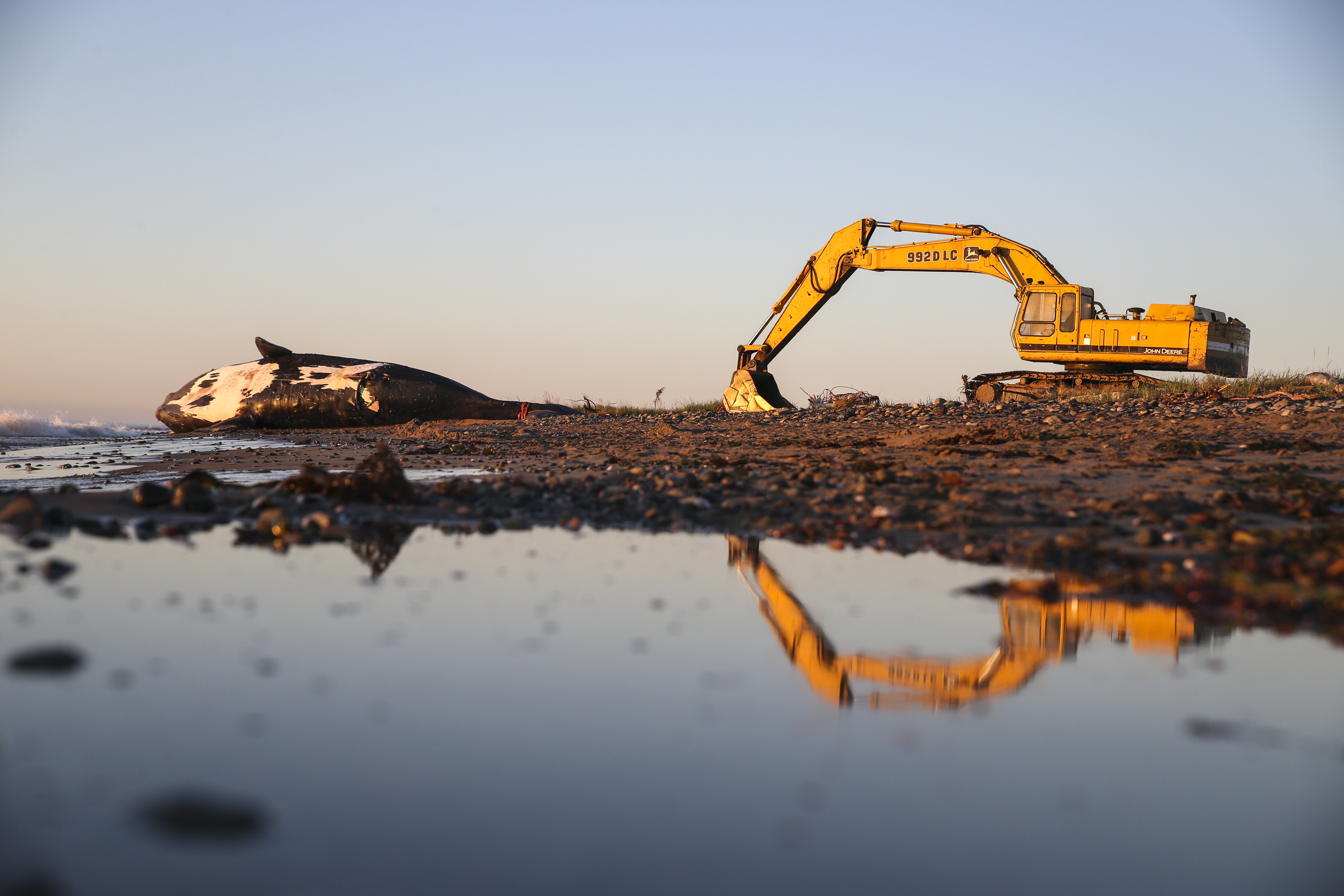 Wolverine, a 9-year-old male right whale, lays dead on a beach in New Brunswick.