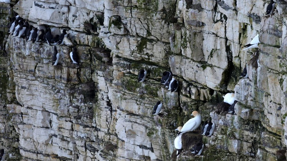 Birds, including Guillemots, perched on a cliff face