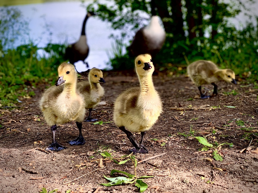 Goslings walk ahead of their mother on a river bank