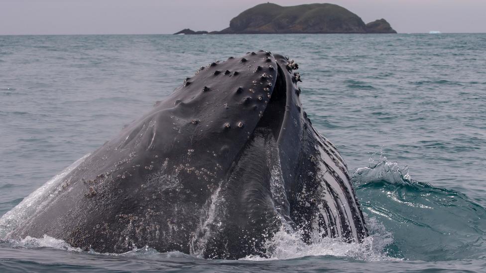 Humpback whale (c) BAS