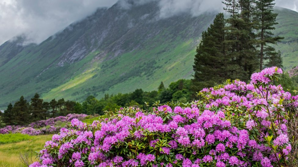 Rhododendron is an invasive species in Scotland