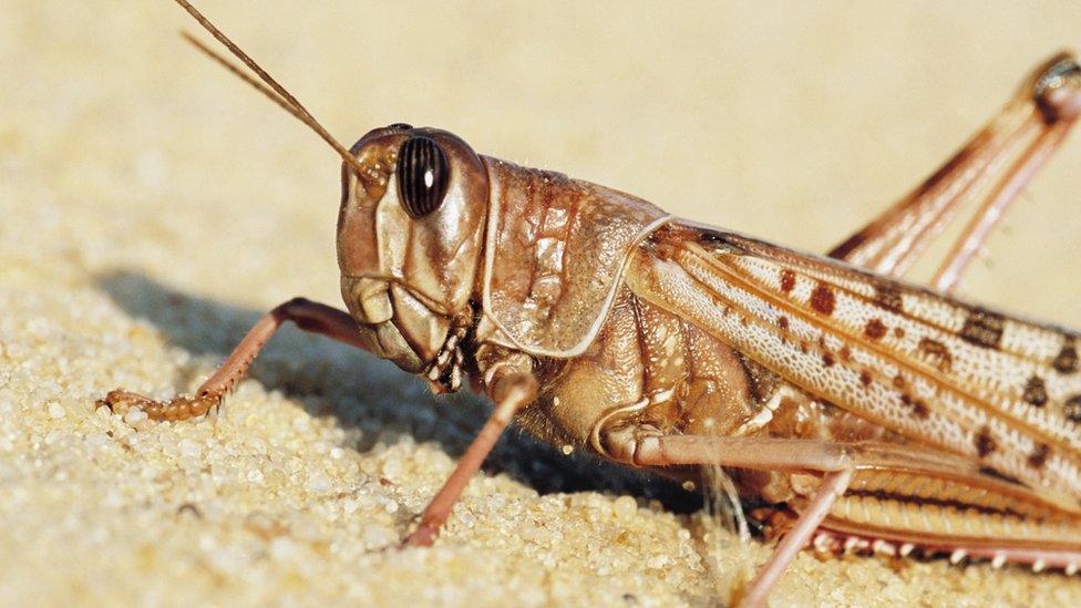 Image of a desert locust