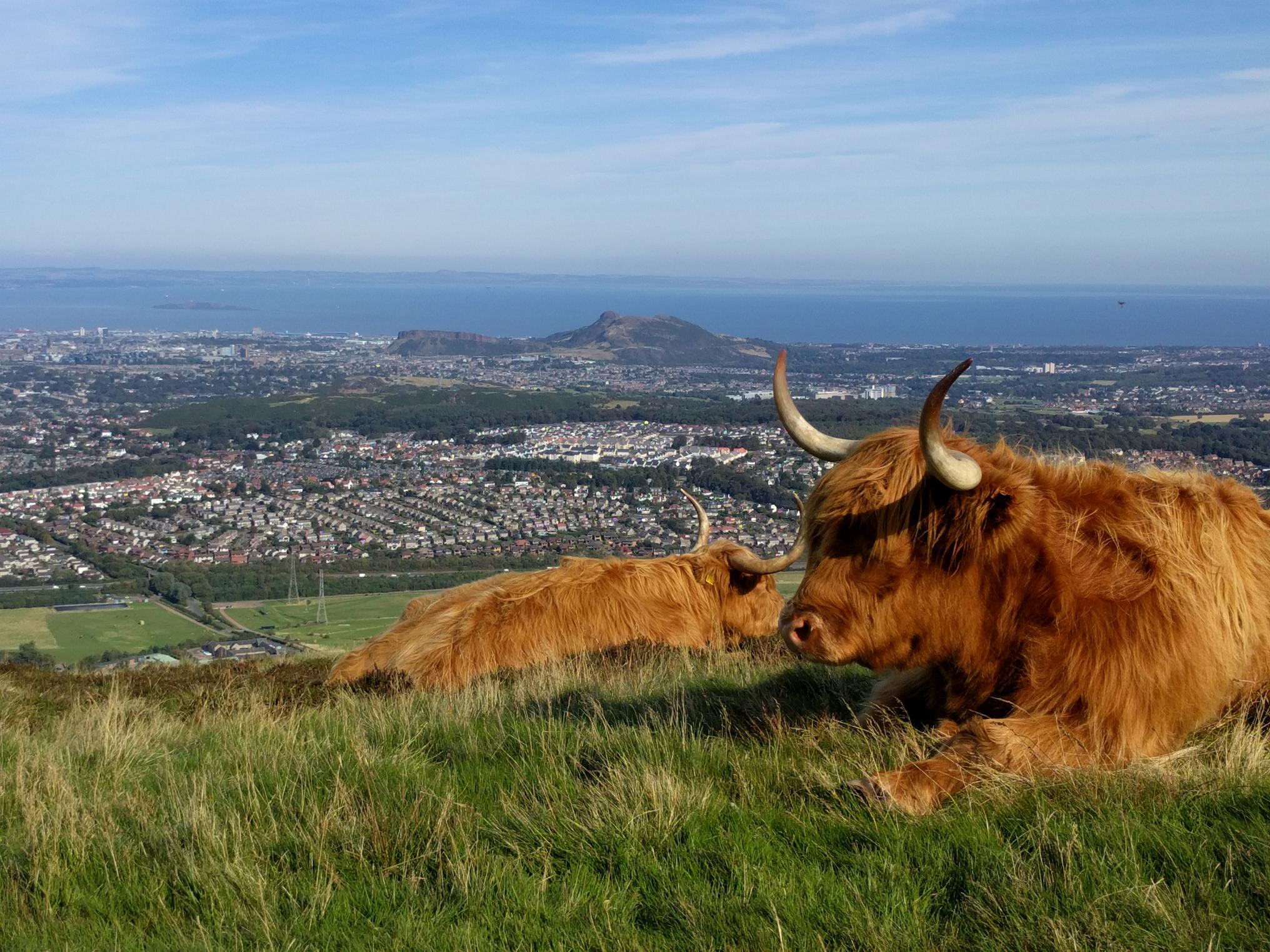 Highland cows on Pentland Ridge