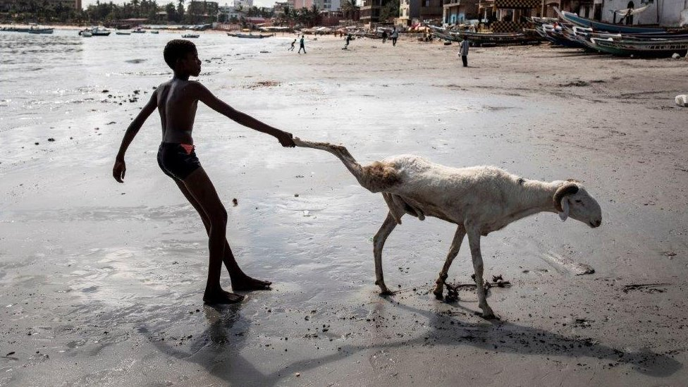 A young sheep farmer drags one of his sheep toward the sea in order to clean it in Dakar, Senegal - 28 July 2020