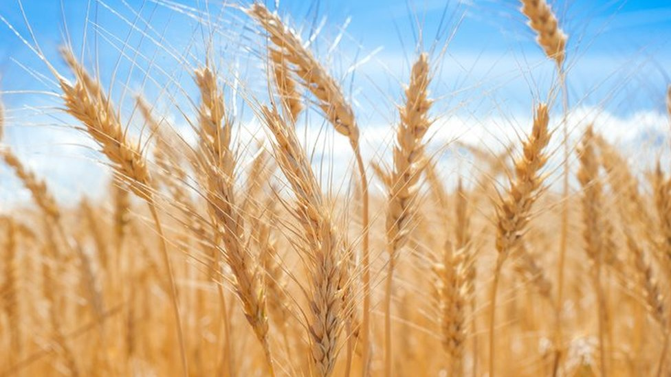 Plantas de trigo