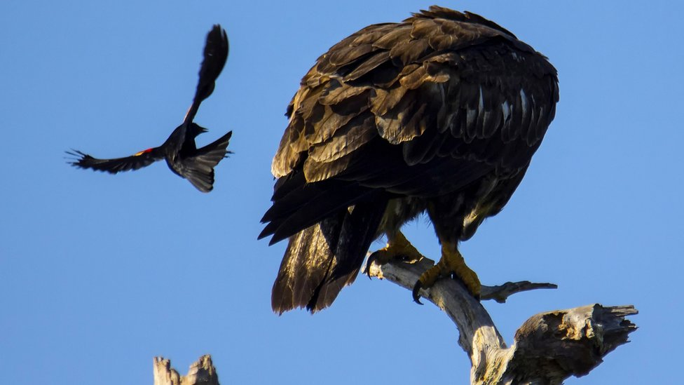 Blackbirds, a type of song bird, don't mind attacking hawks or eagles