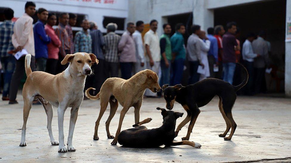 كلاب ضالة داخل مركز اقتراع في منطقة أغرا أوتار براديش