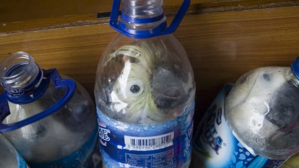 Indonesian yellow-crested cockatoos placed inside water bottles