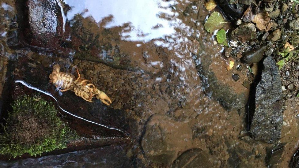 A dead crayfish