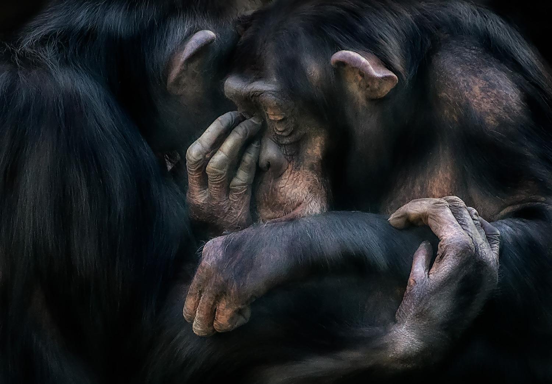 Foto de un chimpancé consolando a otro