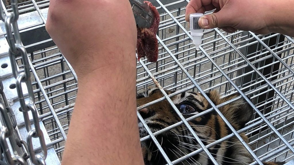 Shepreth Wildlife Park gives eye drops to tiger by creating tunnel
