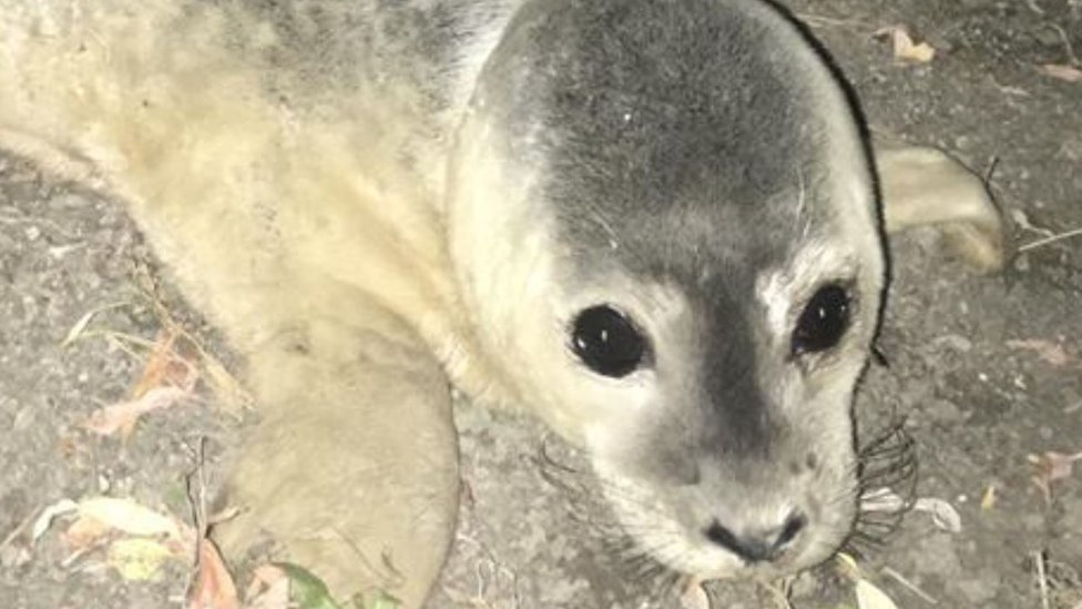 Abandoned seal pup rescued from Cambridgeshire river bank