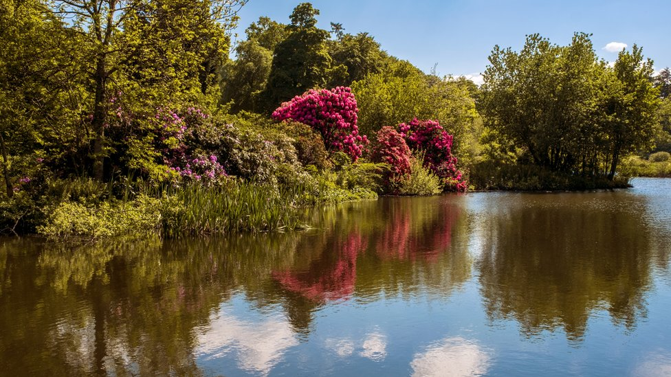 Rhododendrons in full spectacular view at Burgie Mains in Moray