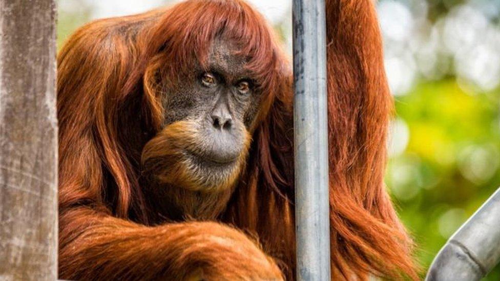 Помер найстаріший орангутан. Він лишив десятки нащадків