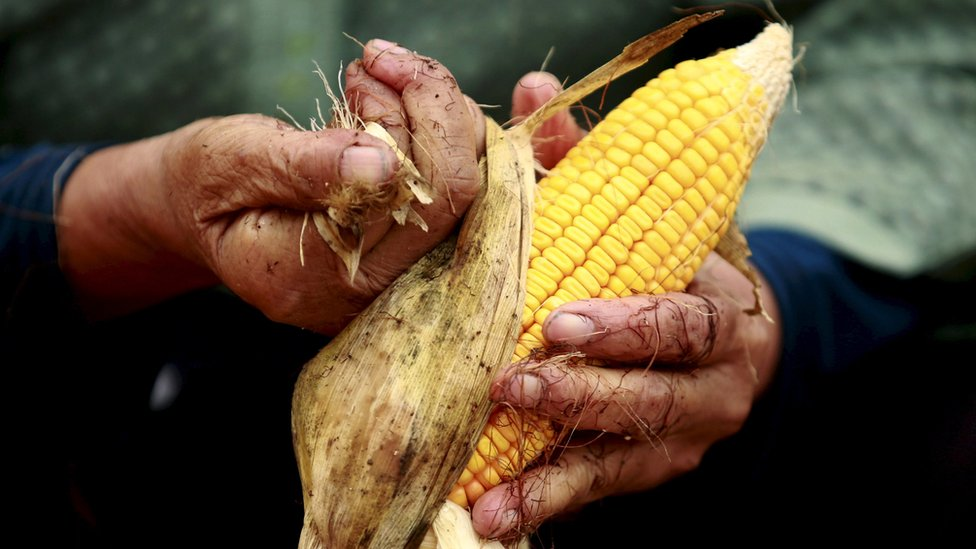 Maize cob in someone's hands