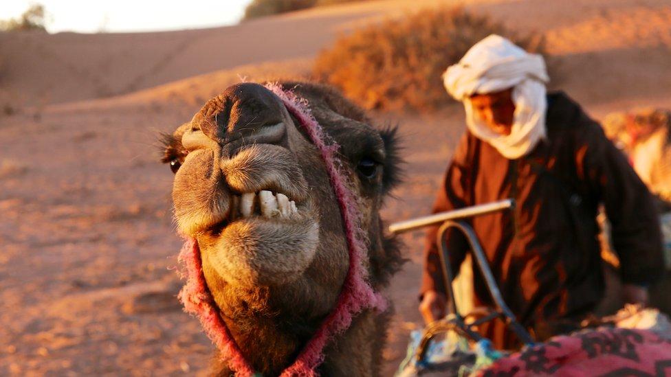 Llwytho'r camel wrth i'r wawr dorri, ar gyfer diwrnod arall o gerdded drwy'r Sahara