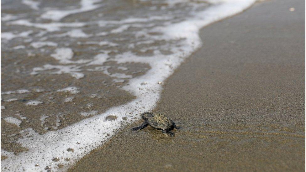 海龜一般會在成年後回到出生地產卵。