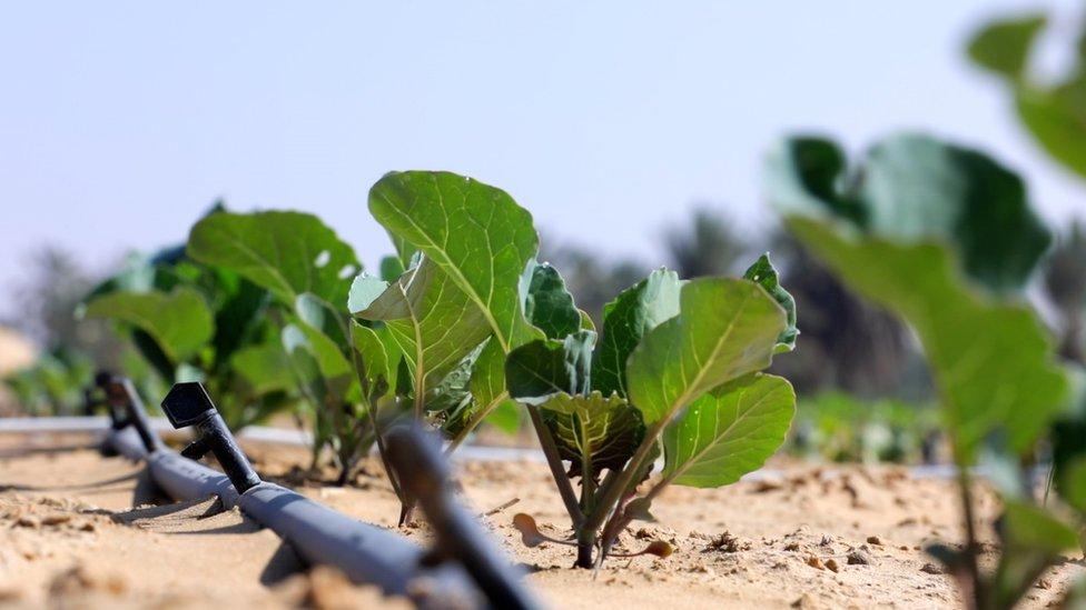 Plantas de quimbombó que crecen en el desierto.