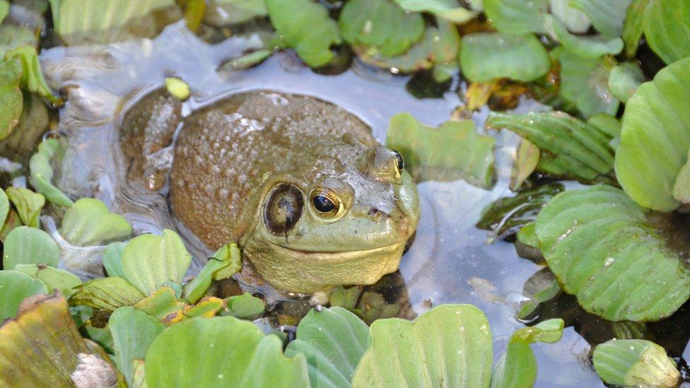 American bullfrog in Taiwan